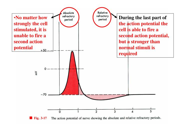 No matter how strongly the cell stimulated, it is unable to fire a second action potential