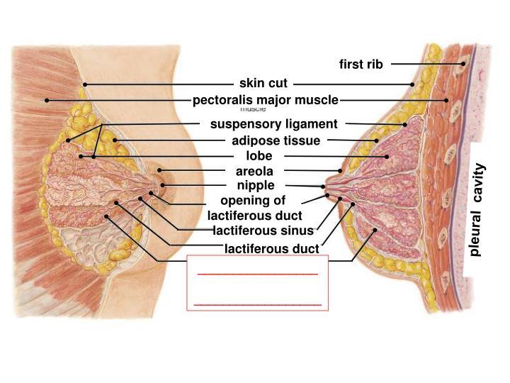 first rib