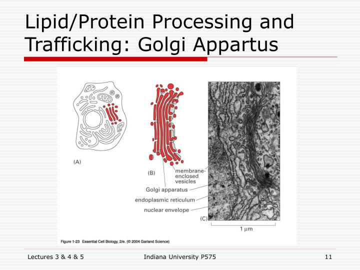 Lipid/Protein Processing and Trafficking: Golgi Appartus