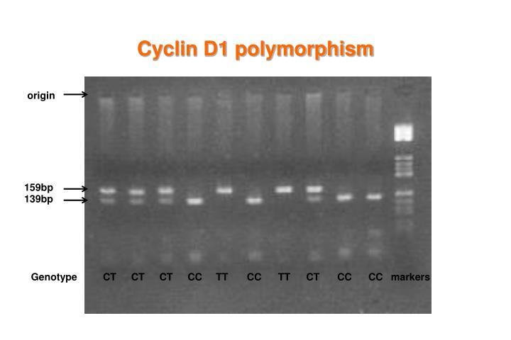 Cyclin D1 polymorphism