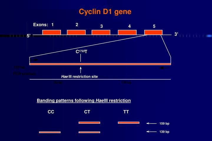 Cyclin D1 gene