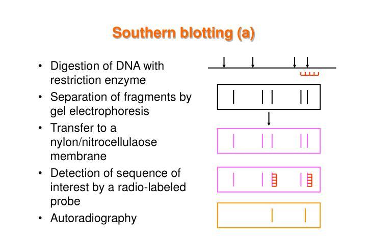 Southern blotting (a)