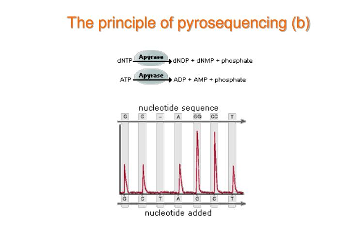 The principle of pyrosequencing (b)