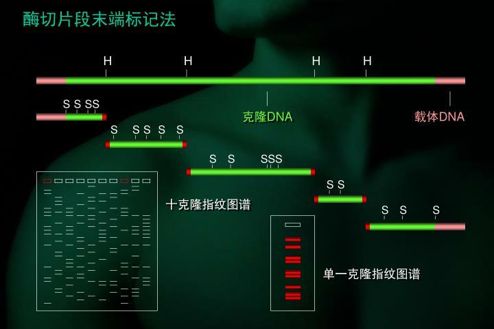 酶切片段末端标记法