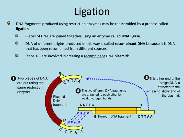 Two pieces of DNA are cut using the same restriction enzyme.