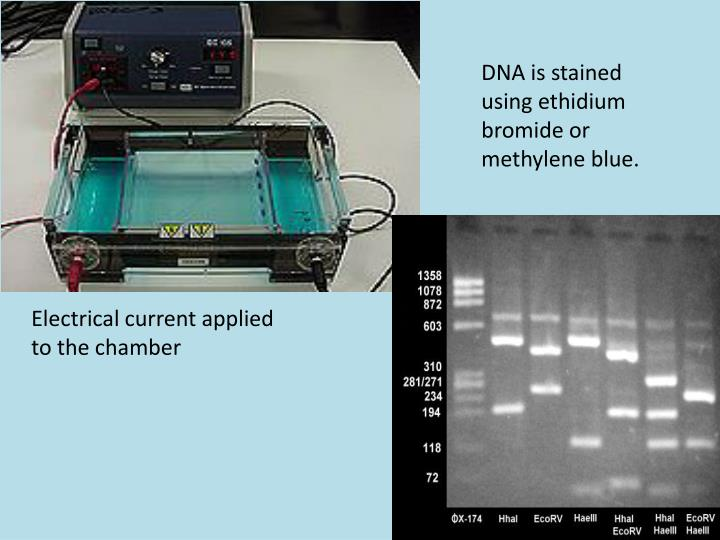 DNA is stained using ethidium bromide or methylene blue.