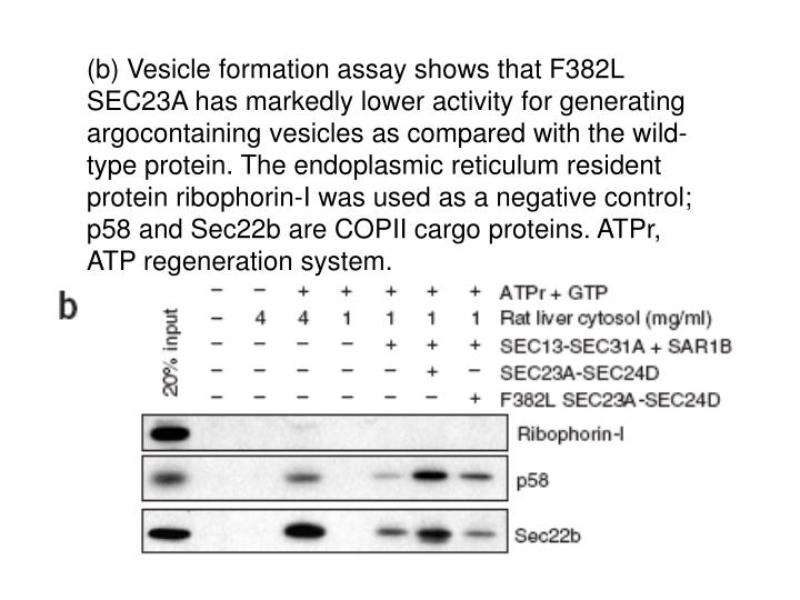 (b) Vesicle formation assay shows that F382L SEC23A has markedly lower activity for generating argocontaining vesicles as compared with the wild-type protein. The endoplasmic reticulum resident protein ribophorin-I was used as a negative control; p58 and Sec22b are COPII cargo proteins. ATPr, ATP regeneration system.