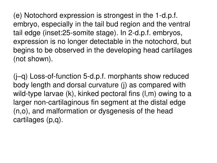 (e) Notochord expression is strongest in the 1-d.p.f. embryo, especially in the tail bud region and the ventral tail edge (inset:25-somite stage). In 2-d.p.f. embryos, expression is no longer detectable in the notochord, but begins to be observed in the developing head cartilages (not shown).