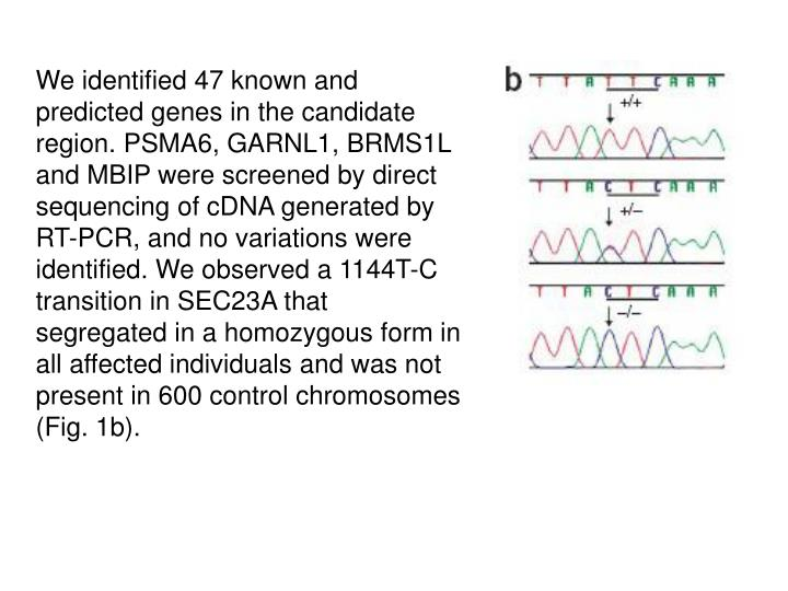 We identified 47 known and predicted genes in the candidate region. PSMA6, GARNL1, BRMS1L and MBIP were screened by direct sequencing of cDNA generated by RT-PCR, and no variations were identified. We observed a 1144T-C transition in SEC23A that segregated in a homozygous form in all affected individuals and was not present in 600 control chromosomes (Fig. 1b).