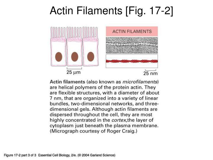 Actin Filaments [Fig. 17-2]