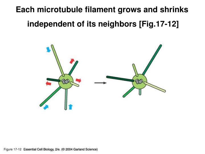 Each microtubule filament grows and shrinks