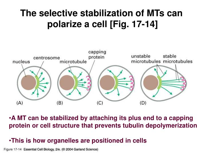 The selective stabilization of MTs can