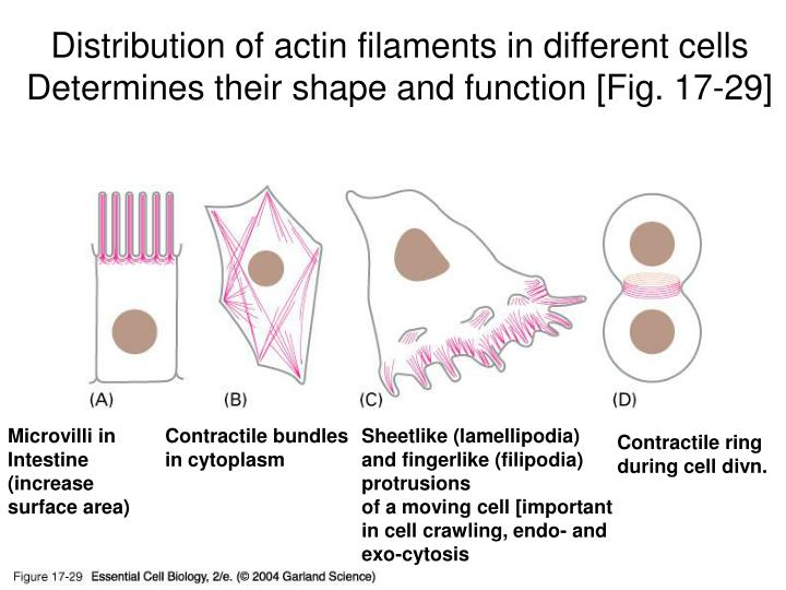 Distribution of actin filaments in different cells