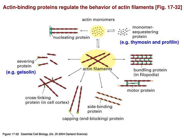 Actin-binding proteins regulate the behavior of actin filaments [Fig. 17-32]