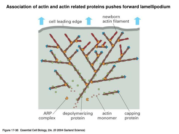 Association of actin and actin related proteins pushes forward lamellipodium