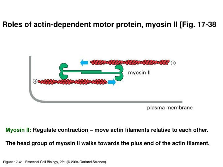 17_41_slide_actin.jpg