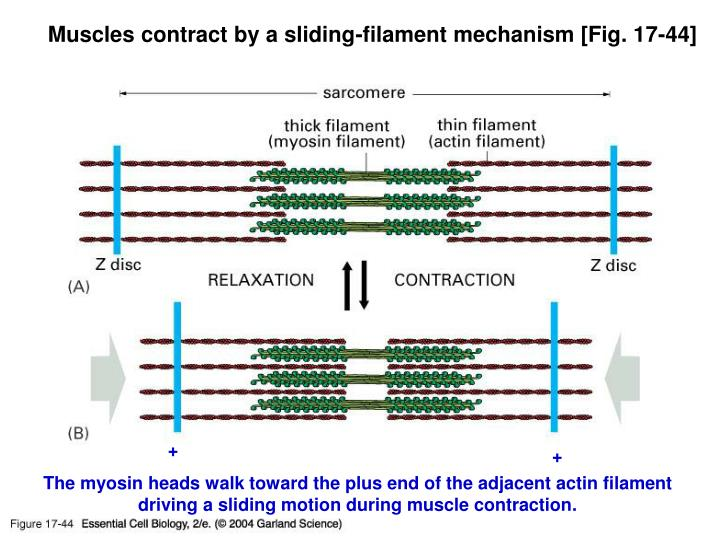 Muscles contract by a sliding-filament mechanism [Fig. 17-44]