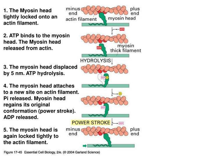 1. The Myosin head