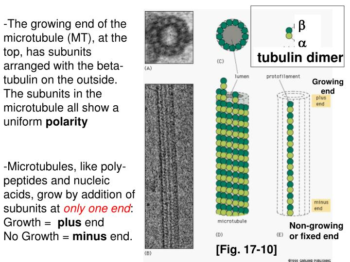 -The growing end of the microtubule (MT), at the top, has subunits arranged with the beta-tubulin on the outside. The subunits in the microtubule all show a uniform