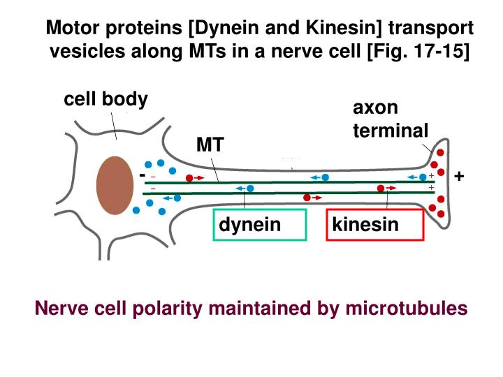 Motor proteins [Dynein and Kinesin] transport vesicles along MTs in a nerve cell [Fig. 17-15]