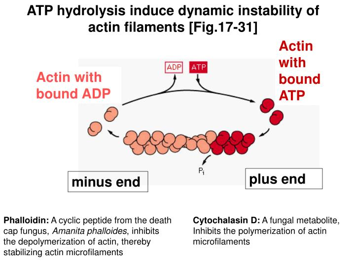 ATP hydrolysis induce dynamic instability of actin filaments [Fig.17-31]