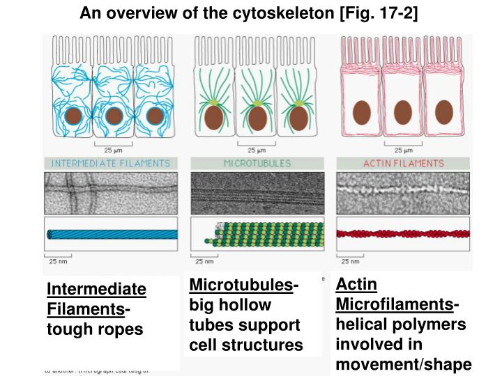 An overview of the cytoskeleton [Fig. 17-2]