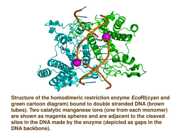 Structure of the homodimeric restriction enzyme