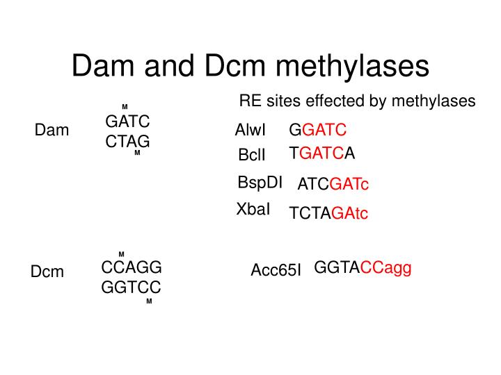 Dam and Dcm methylases