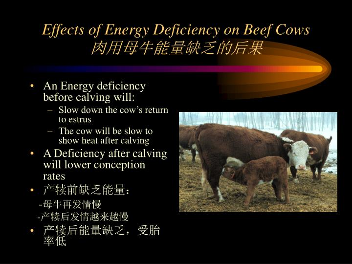 Effects of Energy Deficiency on Beef Cows