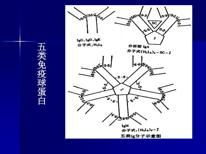 五类免疫球蛋白