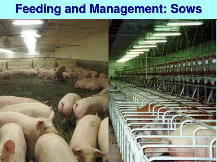 Feeding and Management: Sows