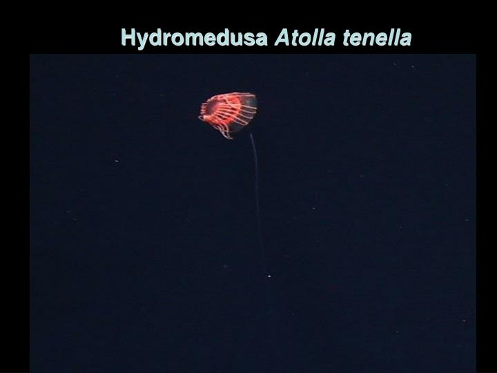 Hydromedusa