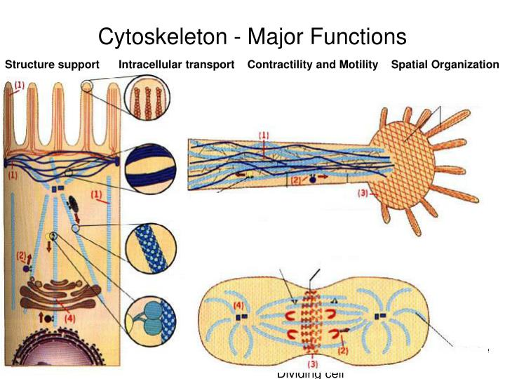 Cytoskeleton major functions