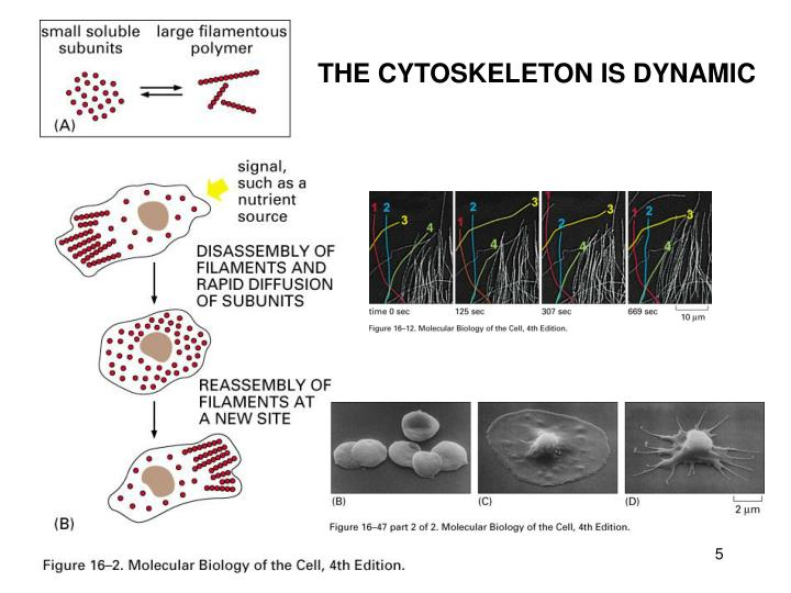 THE CYTOSKELETON IS DYNAMIC