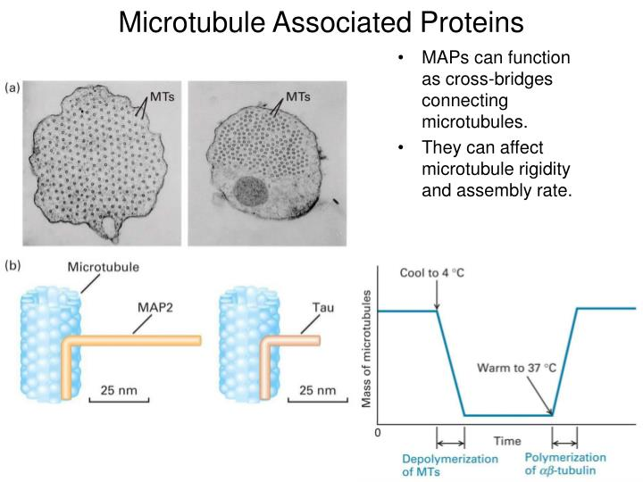 Microtubule Associated Proteins