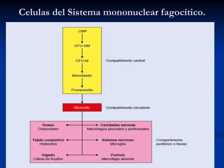 Celulas del Sistema mononuclear fagocítico.
