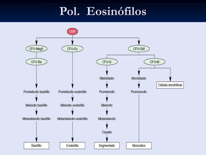 Pol.  Eosinófilos