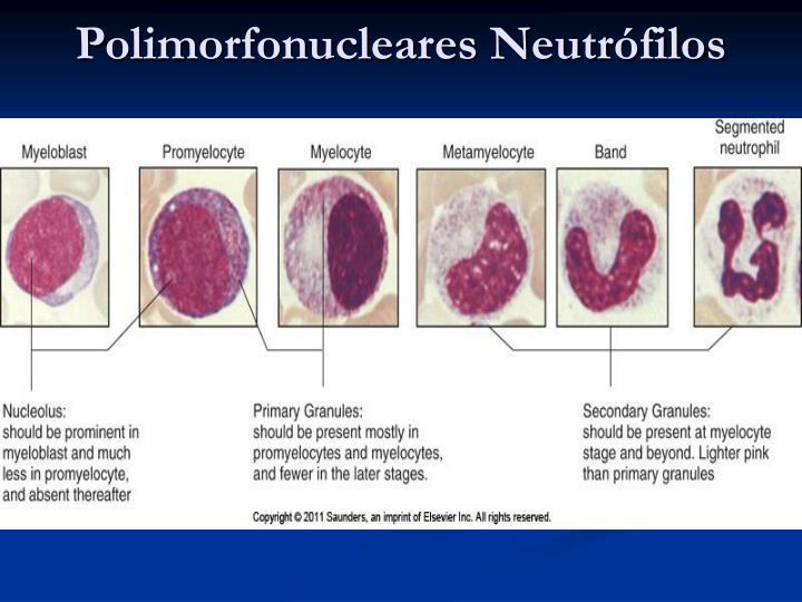 Polimorfonucleares Neutrófilos