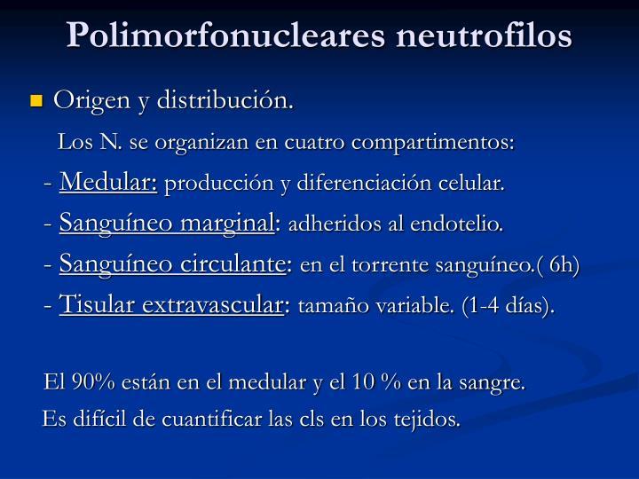 Polimorfonucleares neutrofilos