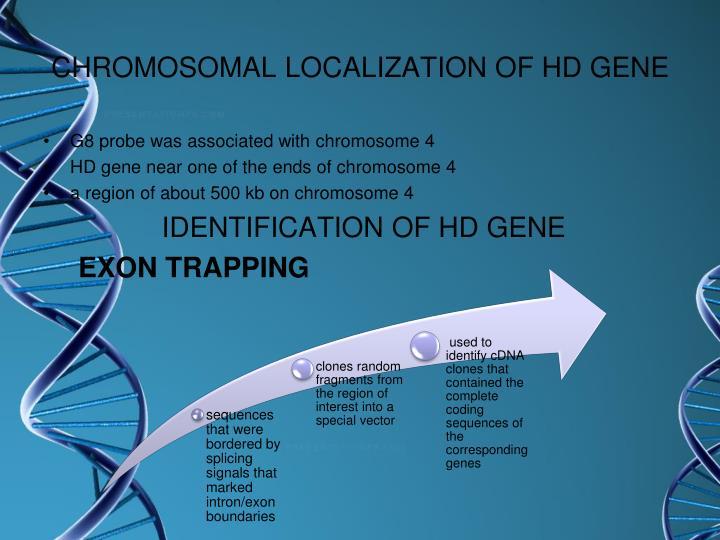 CHROMOSOMAL LOCALIZATION OF HD GENE