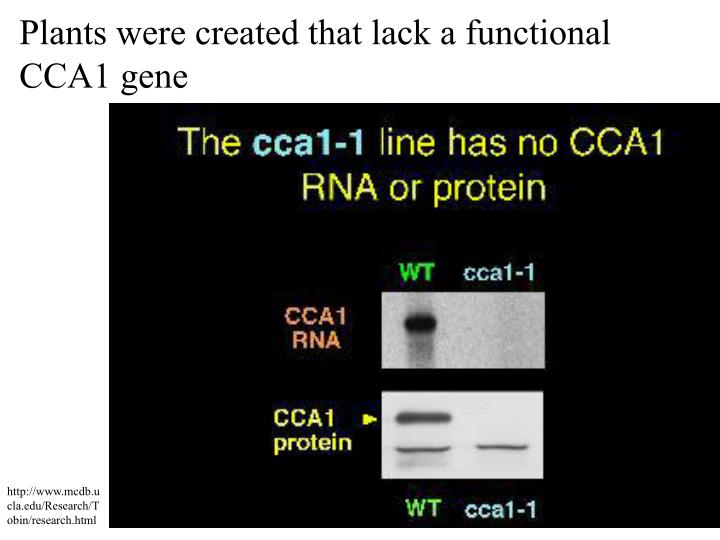 Plants were created that lack a functional CCA1 gene