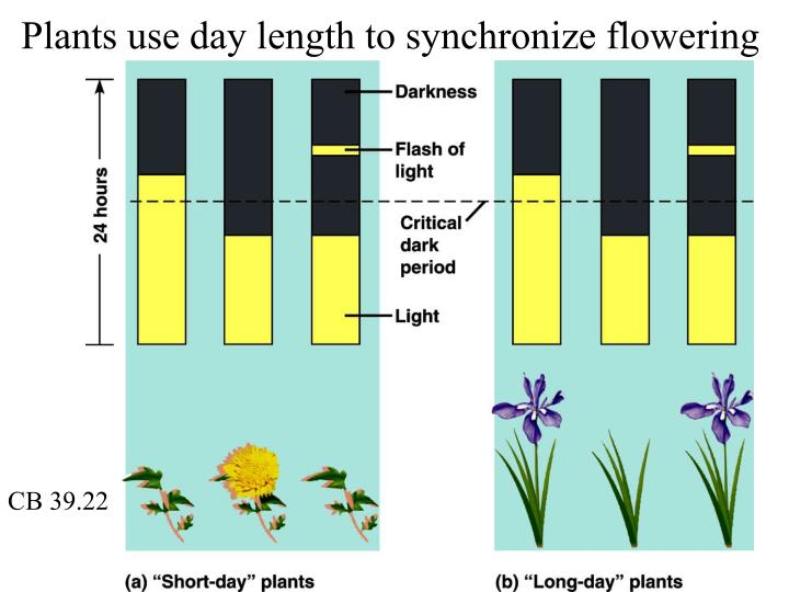 Plants use day length to synchronize flowering