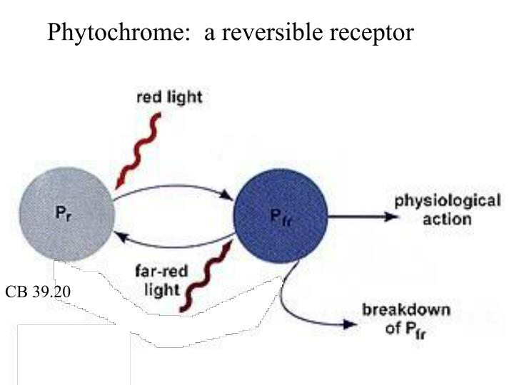 Phytochrome:  a reversible receptor