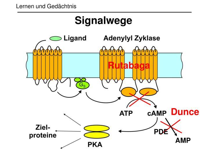 Signalwege