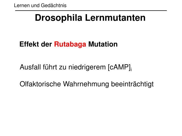 Drosophila Lernmutanten