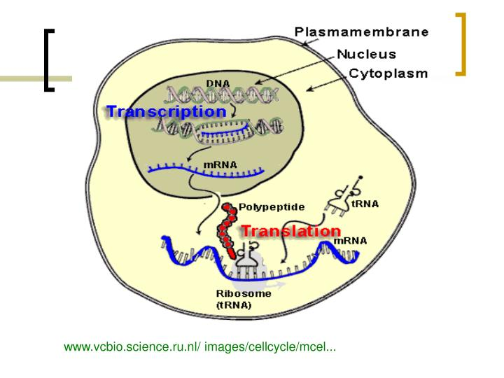www.vcbio.science.ru.nl/ images/cellcycle/mcel...
