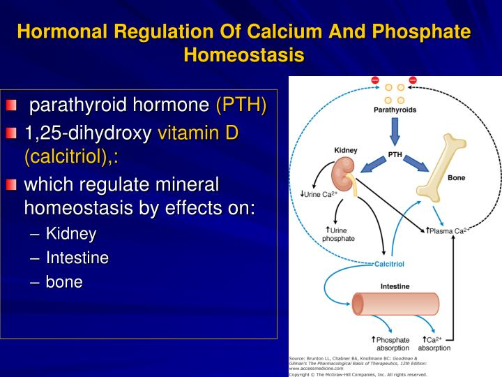 calcium homeostasis and hormonal regulation Regulation of bone turnover, reabsorption of calcium and phosphate from the glomerular filtrate, and absorption of calcium and phosphate from the diet are mechanisms by which homeostasis is preserved.