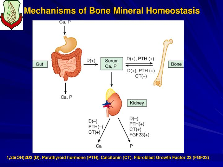 Mechanisms of Bone Mineral Homeostasis