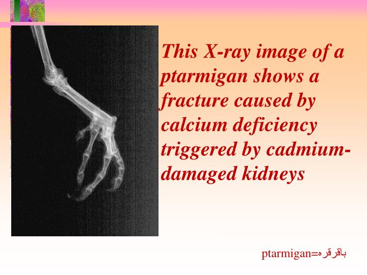 This X-ray image of a ptarmigan shows a fracture caused by calcium deficiency triggered by cadmium-damaged kidneys