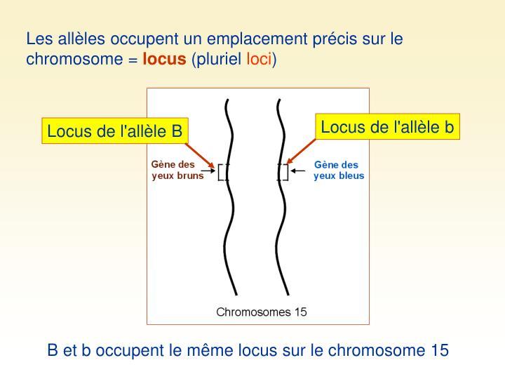 Les allèles occupent un emplacement précis sur le chromosome =